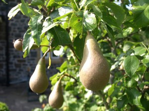 Conference pears.