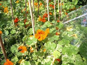 Self seeded nasturtiums took over the raised bed.
