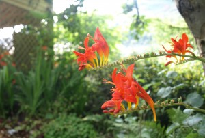 Crocosmia is flourishing in the shaded garden