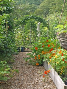Looking past the nasturtiums in the raised garden to the Lime wall.